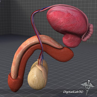 3ds max human male reproductive anatomy