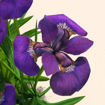 Plant_Iris_Flower_06.jpg