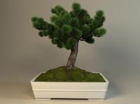 pine bonsai 3d model