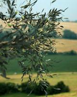 Olive tree 01