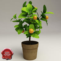 Decorative citrus tree Calamondin