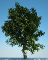 European Oak 01