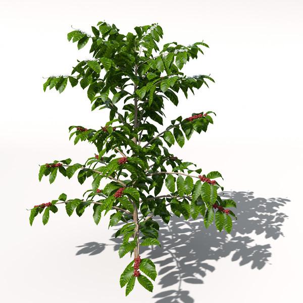 Coffee coffea arabica 3d model for Coffea arabica
