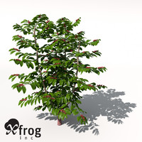 coffee coffea arabica 3d model