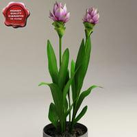 Curcuma Alismatifolia (Siam Tulip)