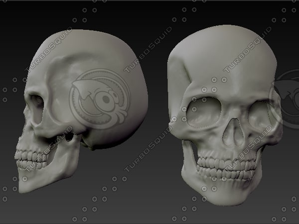Anatomically realistic human Skull