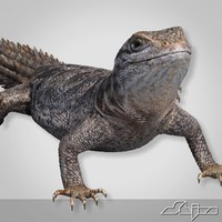 Lizard 2 Cordylus Tropidosternum
