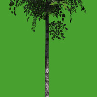 young birch tree 3d model
