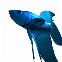 siamese fighting fish 3d model