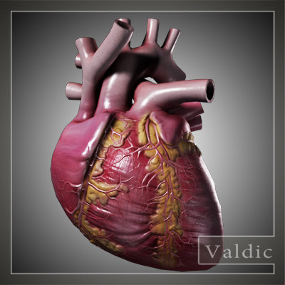 Searched 3d models for human heart model (no textures)