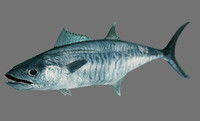 Spanish Mackerel (Scomberomorus)