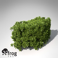 XfrogPlants Golden Privet