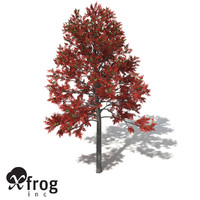 XfrogPlants Illawarra Flame Tree