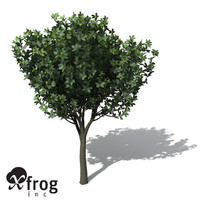 XfrogPlants Rusty Fig