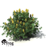 3d model of xfrogplants coast banksia tree