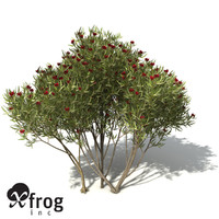XfrogPlants White Mallee
