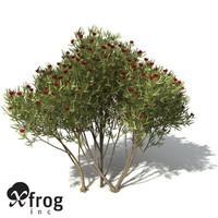 3d xfrogplants white mallee tree shrub model
