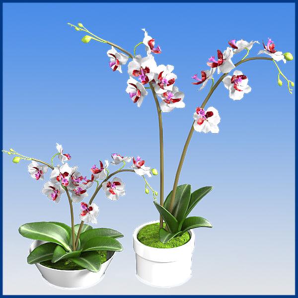 Phaleenopsis orchids