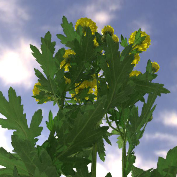 plant chrysanthemum 3d model - Chrysanthemum... by 3DUA