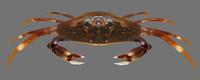 dungeness crab 3d obj