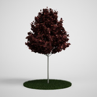 3d model red maple acer