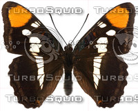 Butterfly Adelpha bredowii