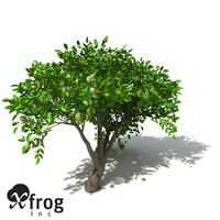c4d xfrogplants noni tree shrub