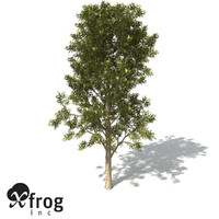 XfrogPlants Spotted Gum