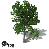 XfrogPlants Plum Pine