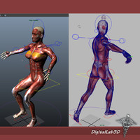 Collection Rigged - Male and Female Muscular System