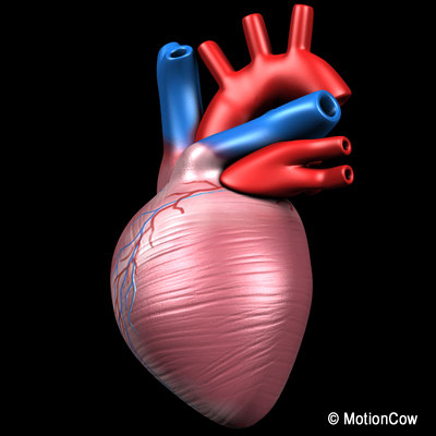human heart pumping 3d model - Human Pumping Heart... by MotionCow