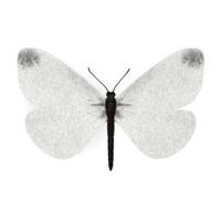 butterfly leptidea sinapis 3d model