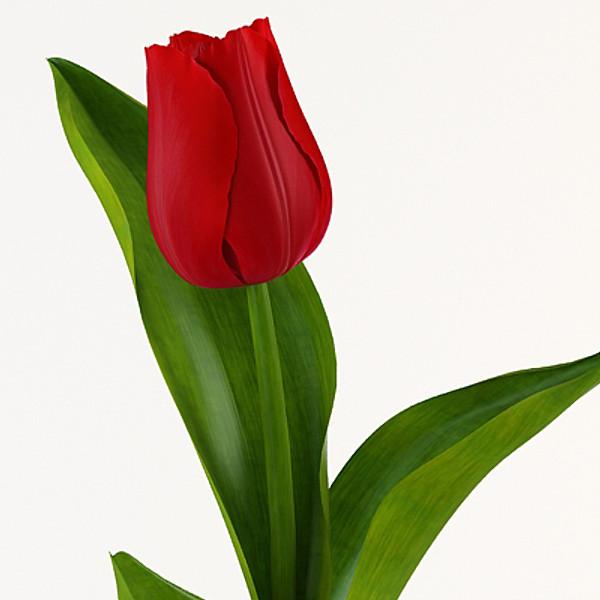 pr_tulip1_8.jpg