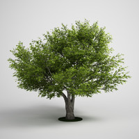willow salix fragilis 3d model
