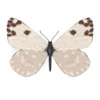 butterfly ontia daplidice 3d model