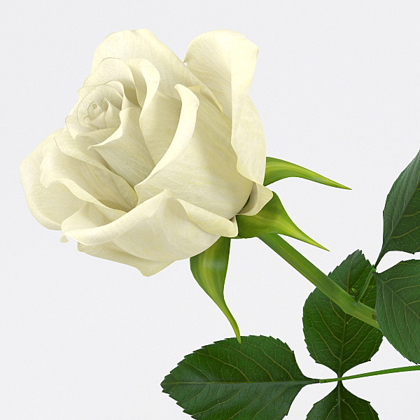 pr_rose4_1.jpg