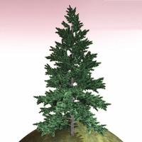 tree 23 fir