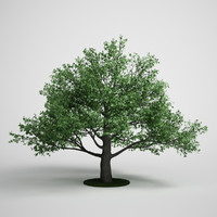 pedunculate oak quercus 3d model