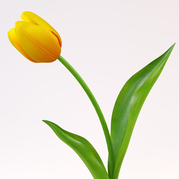 pr_tulip1_1.jpg