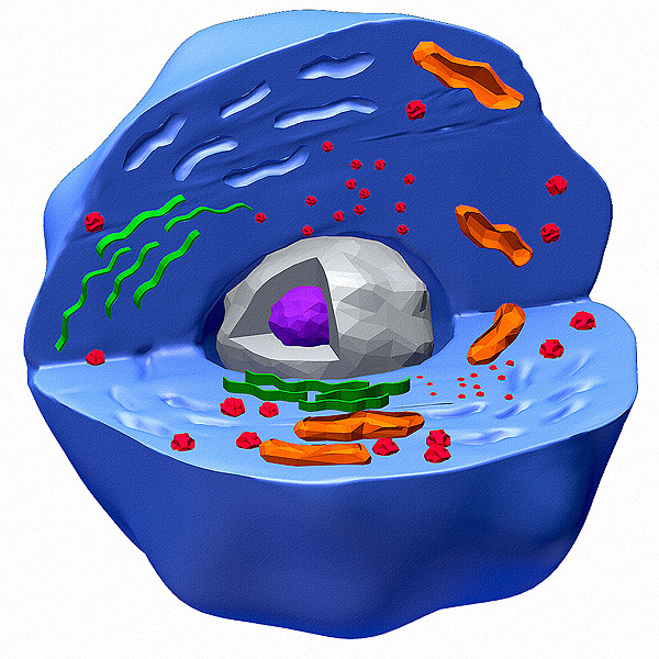 3d model human cell color
