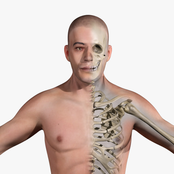 3d model human anatomy male skeletal
