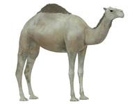 white camel 3d model