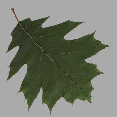 oak_leaf_3.jpg