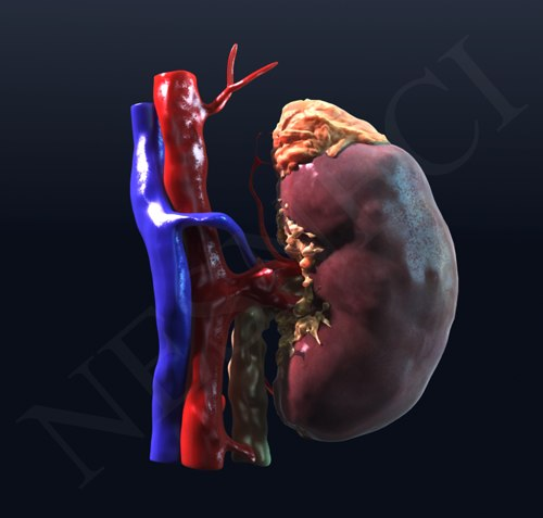Kidney_render.png