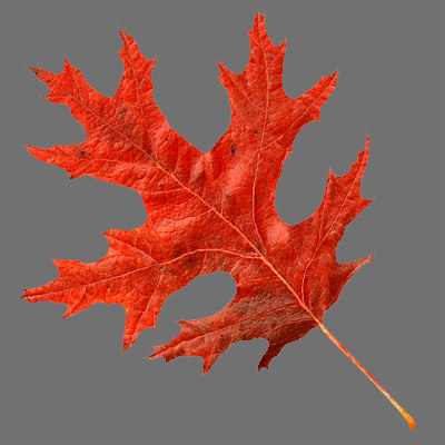 scarlet_oak_leaf.jpg