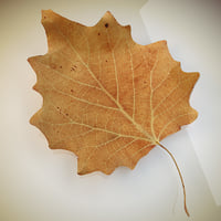 Autumn leaf  poplar dry