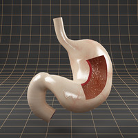 anatomy stomach 3d model