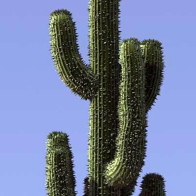 Cactus Saguaro 1