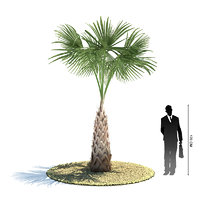 3d exotic tree sabal palmetto