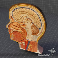 3d model human head anatomy